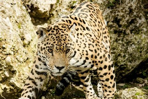 jaguar-1337201_960_720.jpg